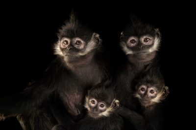 Picture of endangered (IUCN) and federally endangered Francois langurs (Trachypithecus francoisi) at the Omaha Zoo.