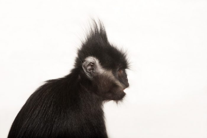 Picture of an endangered (IUCN) and federally endangered Franois langur (Trachypithecus francoisi) at the Kansas City Zoo.