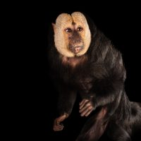 A white-faced saki monkey (Pithecia pithecia) at the Kansas City Zoo.