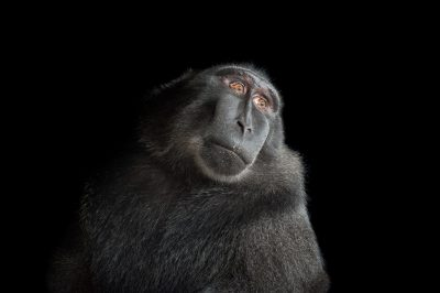A critically endangered Celebes crested macaque, Macaca nigra.