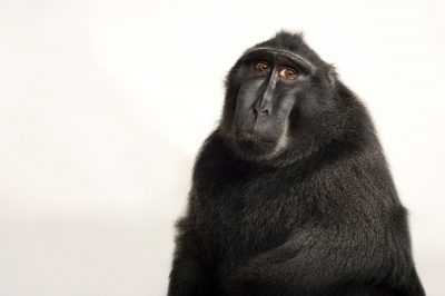 A critically endangered Celebes crested macaque (Macaca nigra) at the Omaha Zoo.
