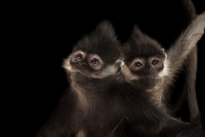 Picture of a pair of endangered (IUCN) and federally endangered Francois' langurs (Trachypithecus francoisi) at the Omaha Zoo.
