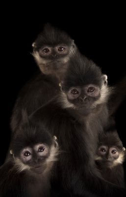 Picture of endangered (IUCN) and federally endangered Francois' langurs (Trachypithecus francoisi) at the Omaha Zoo.
