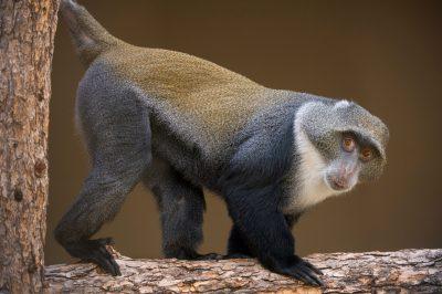 Picture of Sykes' monkey (Cercopithecus albogularis) at the Cheyenne Mountain Zoo in Colorado Springs, Colorado.