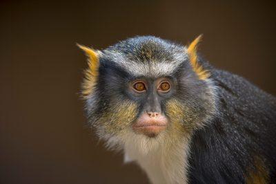 Picture of a Sykes' monkey (Cercopithecus albogularis) at the Cheyenne Mountain Zoo in Colorado Springs, Colorado.