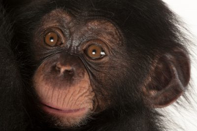 A three-month-old baby chimpanzee (Pan troglodytes) named Ruben at Tampa's Lowry Park Zoo. Listed as endangered (IUCN) and federally endangered