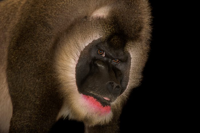 Picture of an endangered (IUCN) and federally endangered mature male drill (Mandrillus leucophaeus) named Lyle at Zoo Atlanta.