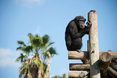 Photo: A chimpanzee at the Gladys Porter Zoo in Brownsville, TX.