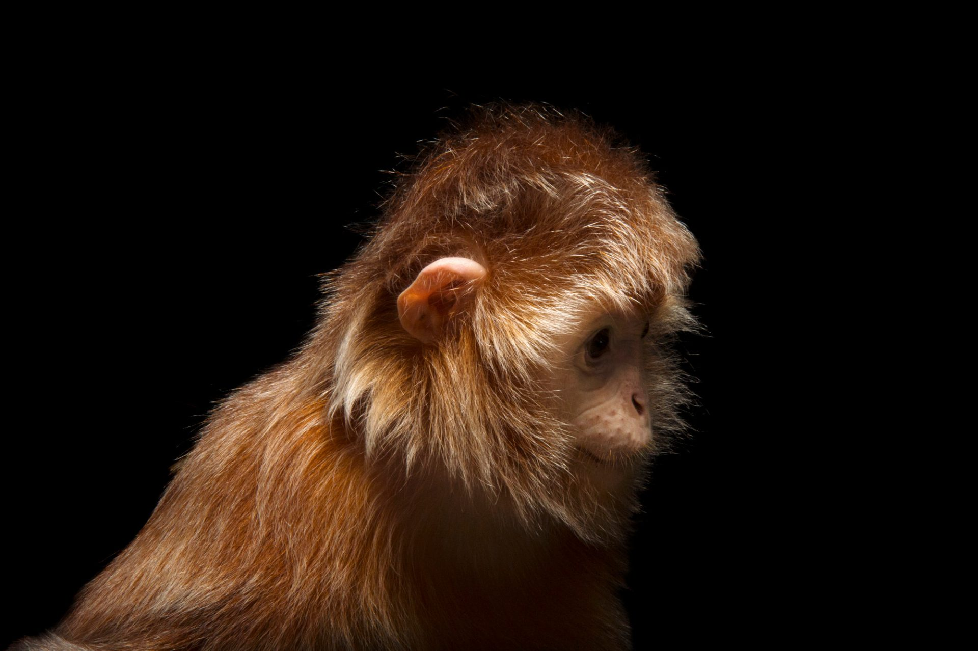 Picture of a vulnerable Javan lutung (Trachypithecus auratus) at the Omaha Zoo.