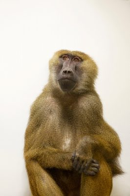 A Guinea baboon (Papio papio) at the Indianapolis Zoo.