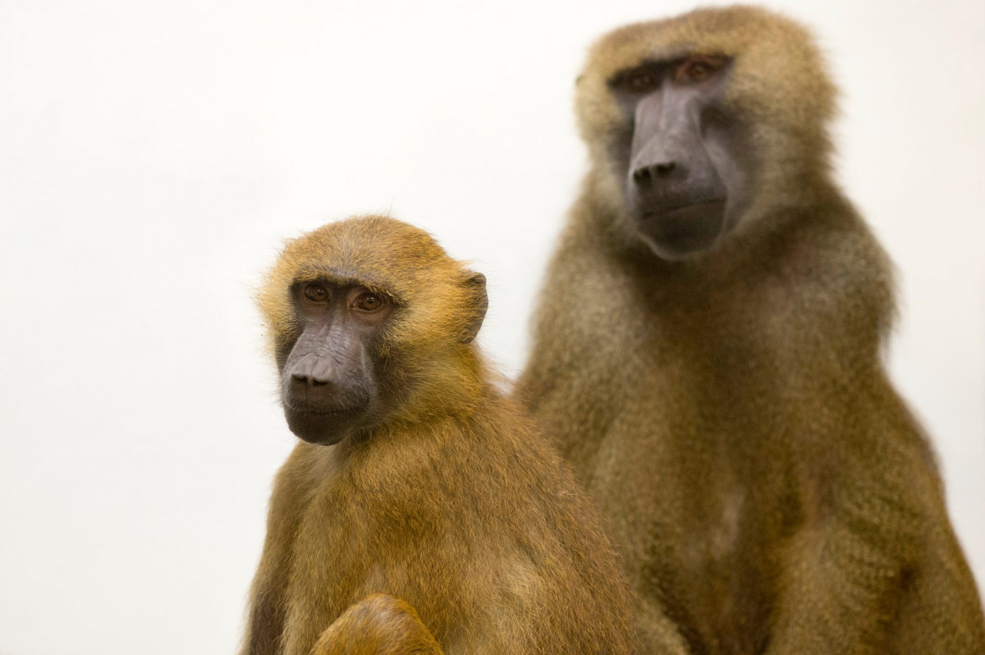 A pair of Guinea baboons (Papio papio) at the Indianapolis Zoo.