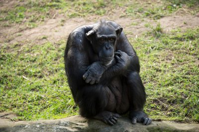 Photo: A chimpanzee at the Taronga Zoo.