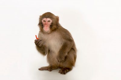 Photo: A juvenile Japanese macaque, Macaca fuscata, at the Blank Park Zoo in Des Moines, Iowa.