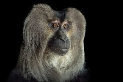 Picture of an endangered (IUCN) and federally endangered, 21-year-old, lion-tailed macaque (Macaca silenus) named Babu at the Cincinnati Zoo.