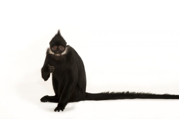 Picture of an endangered (IUCN) and federally endangered Francois' langur (Trachypithecus francoisi) at the Kansas City Zoo.