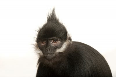 An endangered (IUCN) and federally endangered Francois' langur (Trachypithecus francoisi) at the Kansas City Zoo.