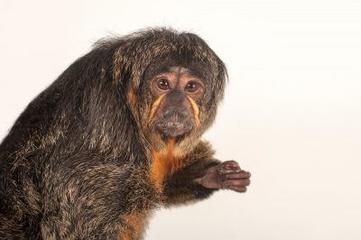 A female white-faced saki monkey (Pithecia pithecia) at the Kansas City Zoo.