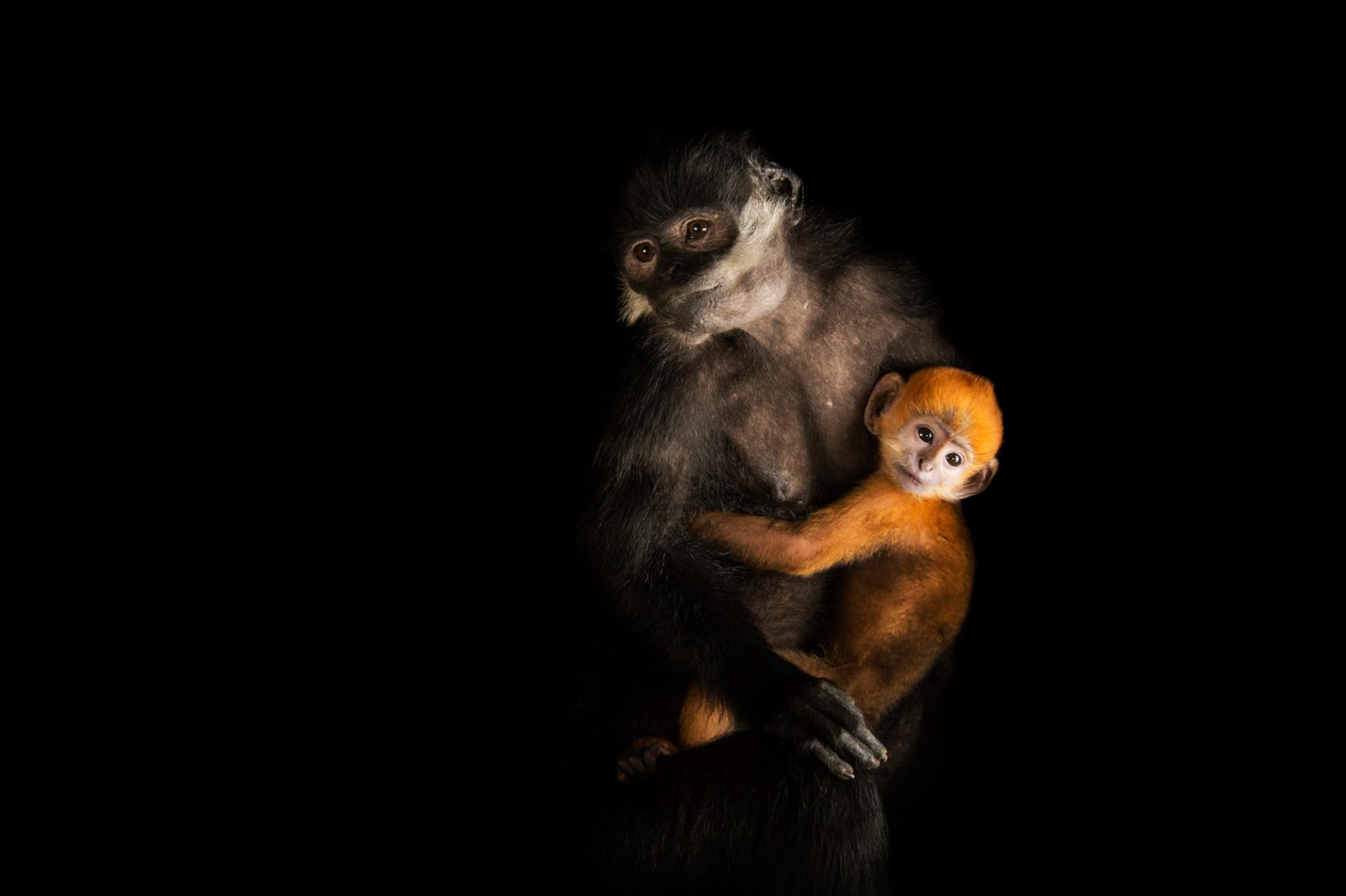 Picture of endangered (IUCN) and federally endangered Francois' langurs (Trachypithecus francoisi) at Omaha Henry Doorly Zoo.