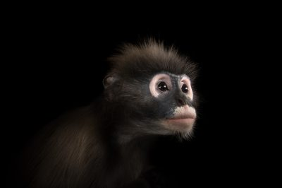 Picture of a spectacled langur, or dusky leaf monkey (Trachypithecus obscurus) at the Dallas Zoo.