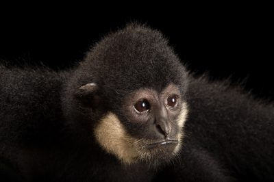 Picture of an endangered male southern white-cheeked gibbon (Nomascus siki) named 'Jonas' at the Endangered Primate Rescue Center in Cuc Phuong National Park, Vietnam.