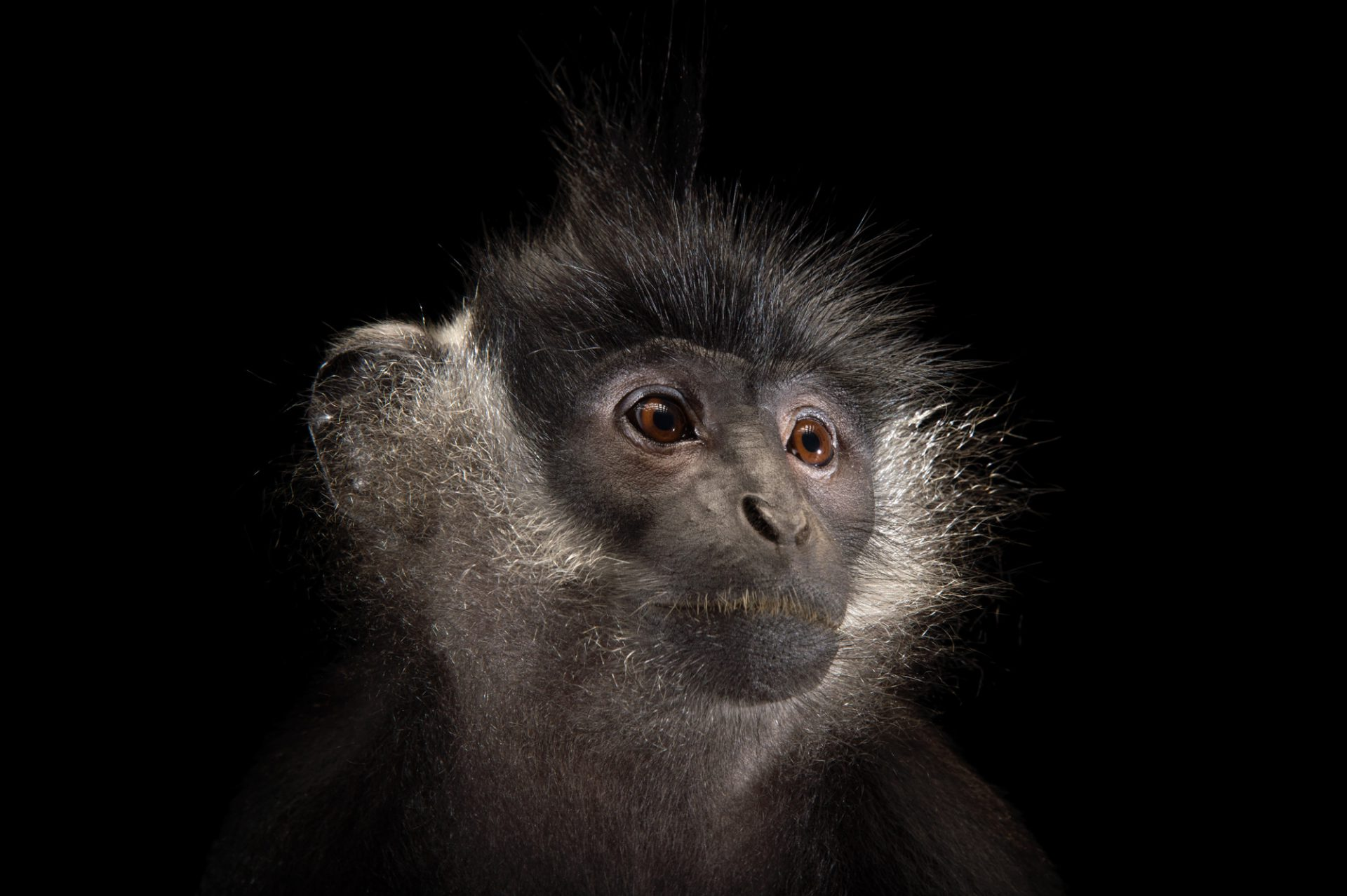 Picture of a critically endangered male Delacour's langur (Trachypithecus delacouri) at the Endangered Primate Rescue Center in Cuc Phuong National Park, Vietnam.