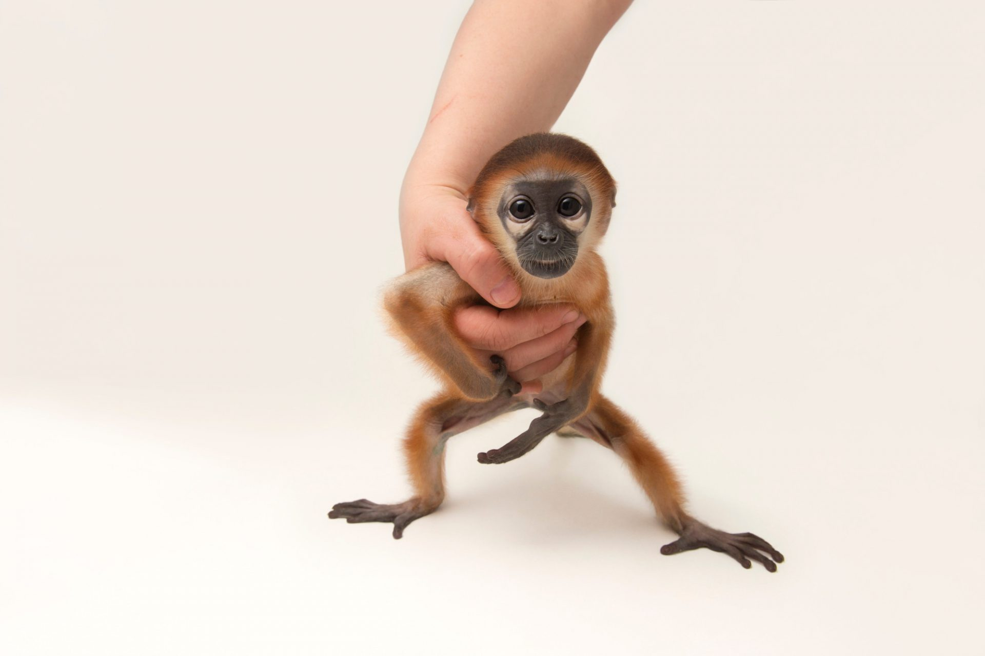 """""""Luna"""", a hand-raised, 56-day-old red-shanked douc langur (Pygathrix nemaeus) at the Endangered Primate Rescue Center in Cuc Phuong National Park, Vietnam. Critically Endangered (IUCN) and federally endangered."""