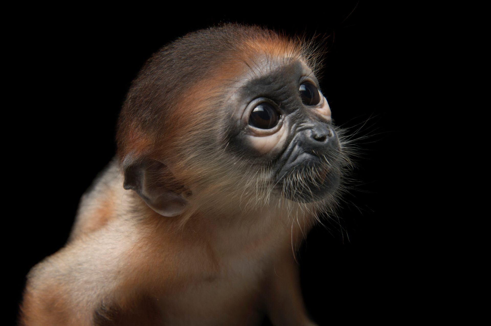 """Luna"", a hand-raised, 56-day-old red-shanked douc langur (Pygathrix Pygathrix) at the Endangered Primate Rescue Center in Cuc Phuong National Park, Vietnam. Endangered (IUCN) and federally endangered."