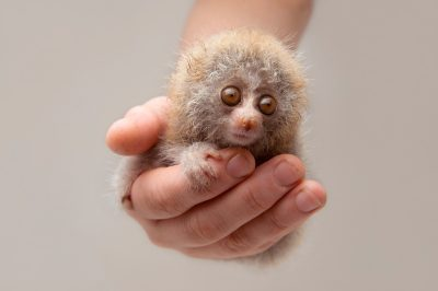 Photo: A 24-day-old slow loris (Nycticebus) at the Endangered Primate Rescue Center in Cuc Phuong National Park, Vietnam.