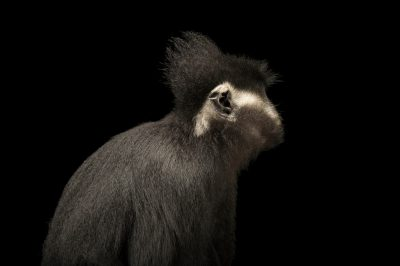 Picture of an endangered Hatinh langur (Trachypithecus hatinhensi) at the Endangered Primate Rescue Center in Cuc Phuong National Park, Vietnam.