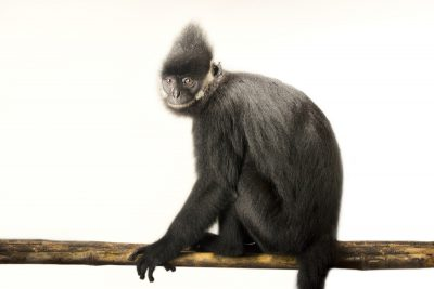Picture of an endangered Hatinh langur (Trachypithecus hatinhensi) at the Endangered Primate Rescue Center in Cuc Phuong National Park, Vietnam. This animal's name is Kurt. He was a confiscation. He was born in 1995.