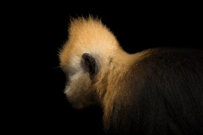 Picture of a critically endangered golden-headed or Cat Ba langur (Trachypithecus poliocephalus) at the Endangered Primate Rescue Center in Cuc Phuong National Park, Vietnam. There are just 55 of these animals left on Earth.