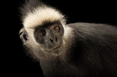 Picture of a vulnerable Laotian langur or white-browed black langur (Trachypithecus laotum) at the Endangered Primate Rescue Center in Cuc Phuong National Park, Vietnam.