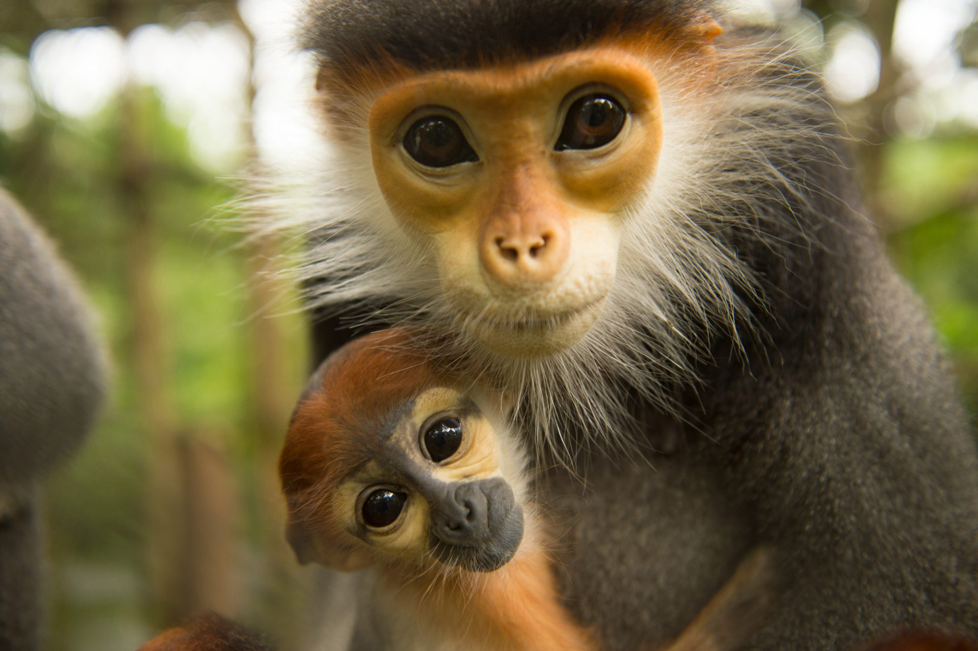 Picture of endangered (IUCN) and federally endangered red-shanked douc langurs (Pygathrix nemaeus) at the Endangered Primate Rescue Center in Cuc Phuong National Park, Vietnam.