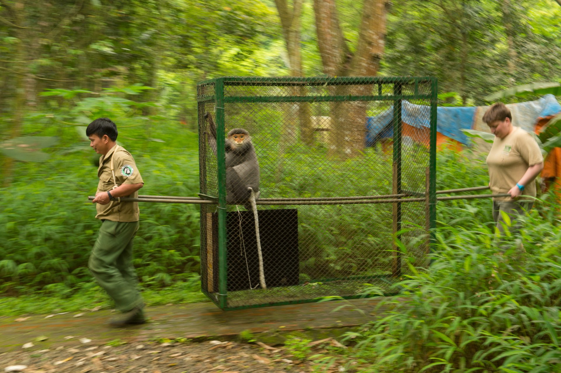 Staff moving a grey-shanked douc langur (Pygathrix cinerea) at the Endangered Primate Rescue Center in Cuc Phuong National Park, Vietnam. This animal's name is Eric.