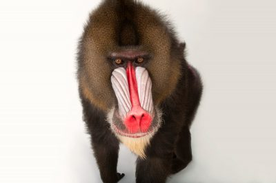 A vulnerable (IUCN) and federally endangered male mandrill (Mandrillus sphinx) at Rolling Hills Wildlife Adventure near Salina, Kansas.
