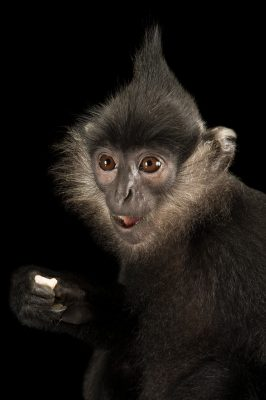 Picture of a critically endangered Delacour's langur (Trachypithecus delacouri) at the Endangered Primate Rescue Center in Cuc Phuong National Park, Vietnam.