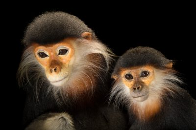 Picture of two endangered (IUCN) and federally endangered red-shanked douc langurs (Pygathrix nemaeus) from the Endangered Primate Rescue Center in Cuc Phuong National Park, Vietnam.
