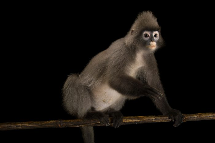 Picture of an endangered Phayre's leaf monkey (Trachypithecus phayrei crepusculus) from the Endangered Primate Rescue Center in Cuc Phuong National Park, Vietnam.