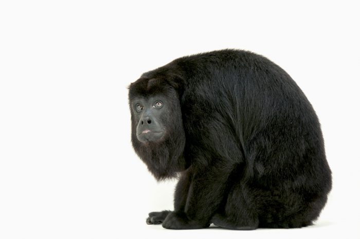 An endangered (IUCN) and federally threatened female Guatemalan mantled howler (Alouatta pigra) at the Gladys Porter Zoo in Brownsville, Texas.