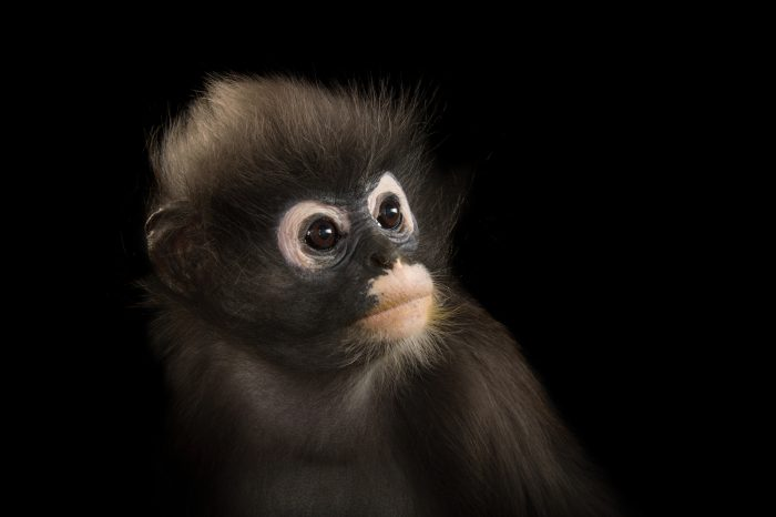 Picture of a female dusky leaf-monkey (Trachypithecus obscurus).
