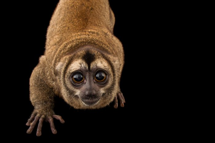 Picture of a Nancy Ma's night monkey (Aotus nancymaae) at the Dallas World Aquarium.