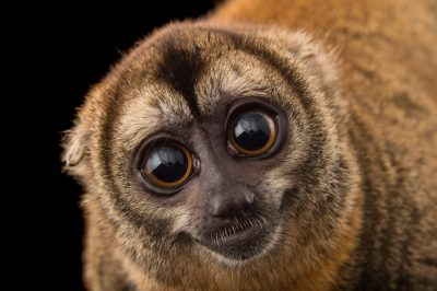 Picture of a Nancy Ma's night monkey (Aotus nancymaae) at the Dallas World Aquarium.