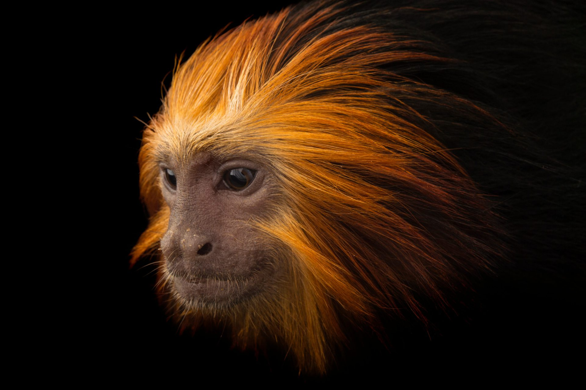 Picture of an endangered golden-headed lion tamarin (Leontopithecus chrysomelas) at the Dallas World Aquarium.