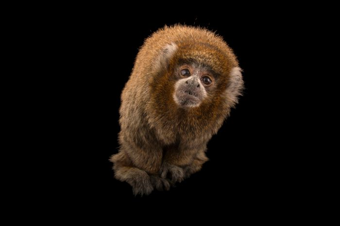 Picture of a Bolivian gray titi (Callicebus donacophilus) named Beau at the Santa Barbara Zoo.