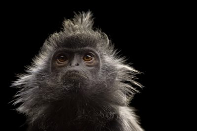 Picture of a near threatened silvery langur (Trachypithecus cristatus) at the Lowry Park Zoo.