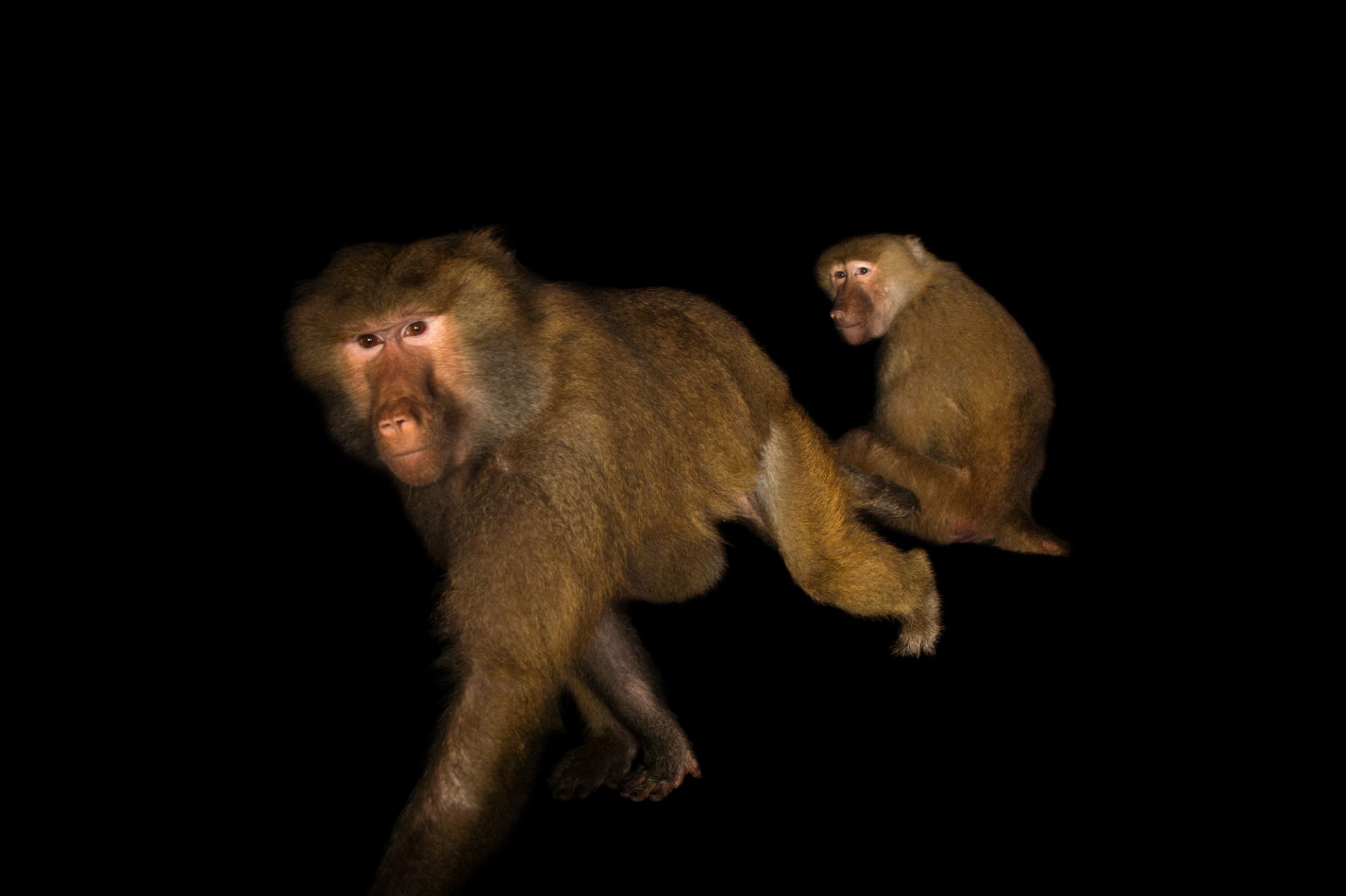 Picture of two female Hamadryas baboons (Papio hamadryas) at the Alabama Gulf Coast Zoo.