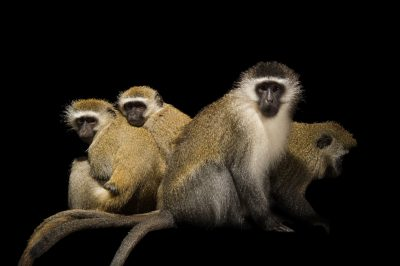 Vervet monkeys (Chlorocebus pygerythrus pygerythrus) at the Columbus Zoo.