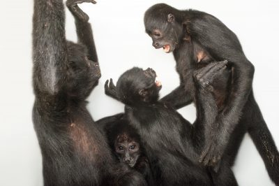 Photo: Critically endangered robust black spider monkeys (Ateles fusciceps robustus) at the Cleveland Metroparks Zoo.