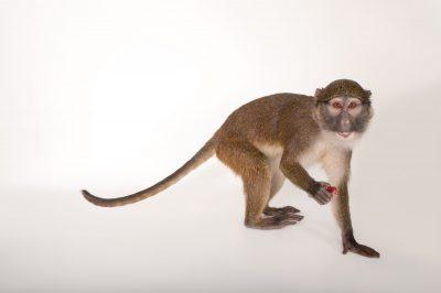 An Allen's swamp monkey (Allenopithecus nigroviridis) at the Cleveland Metroparks Zoo.