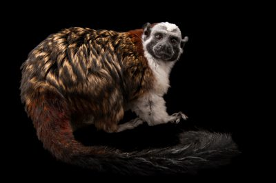 A Geoffroy's tamarin (Saguinus geoffroyi) at the Cleveland Metroparks Zoo.